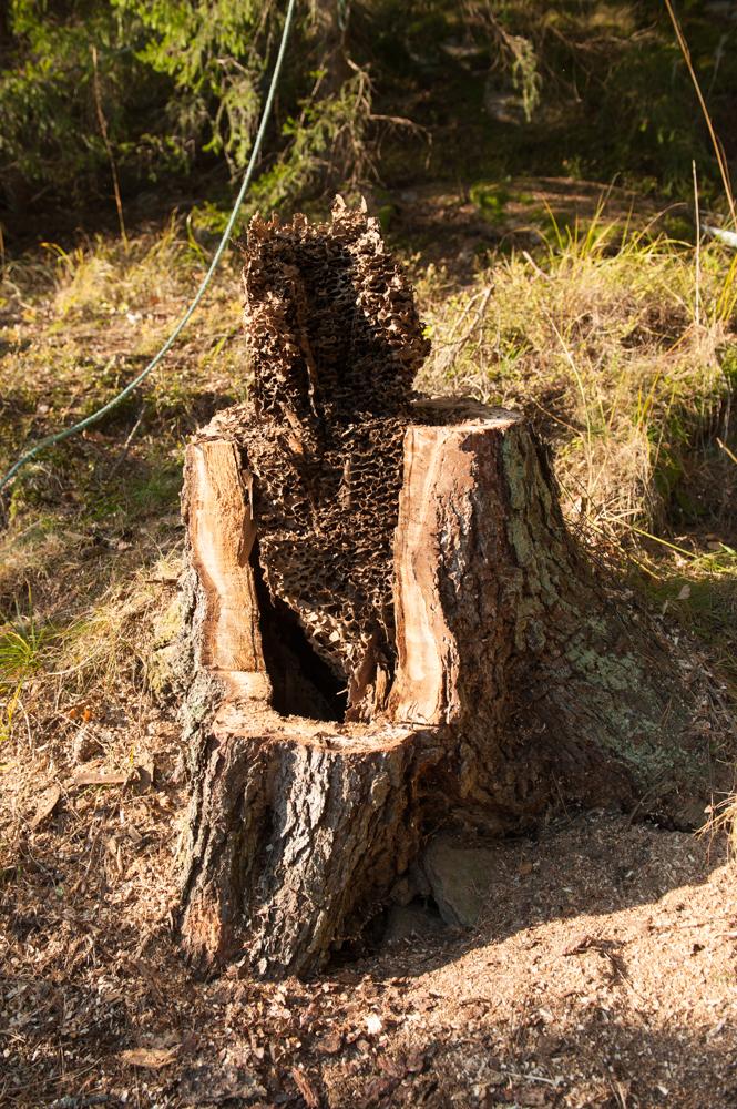 I ett av träden vi fällde fanns det ett jättestort myrbo!