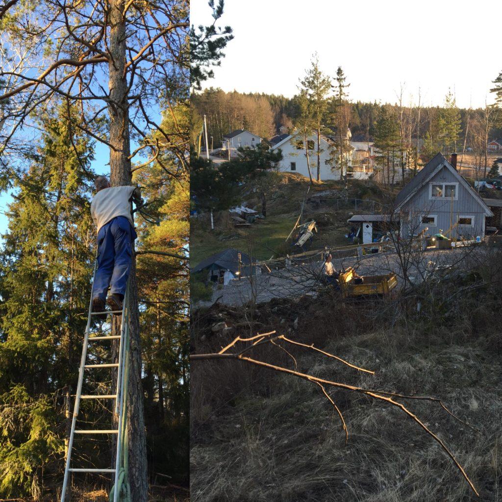 Den senaste veckan har vi hunnit med att fälla lite träd på tomten. Det känns som om våren är här!